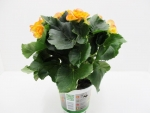 Begonia elatior gelb-orange