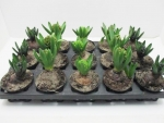 Hyacinthus orie. 1pp Mix