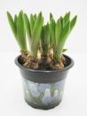 "Muscari ""Mountain Lady"""